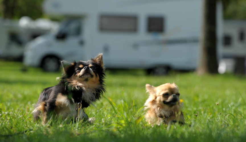 dogs playing on caravan park